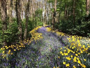 A trail through the forest edged with daffodils