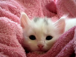 tiny kitten in a pink blanket